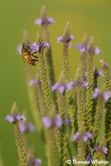Blue vervain and bee